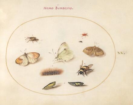 Animalia Rationalia et Insecta (Ignis):  Plate XX