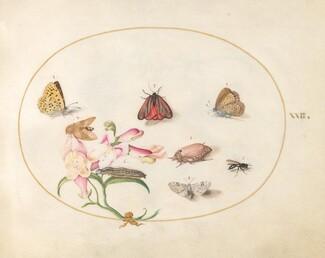 Animalia Rationalia et Insecta (Ignis):  Plate XXII