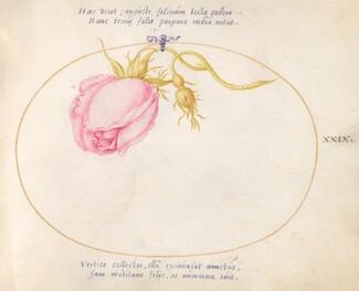 Animalia Rationalia et Insecta (Ignis):  Plate XXIX