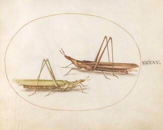 Animalia Rationalia et Insecta (Ignis):  Plate XLV