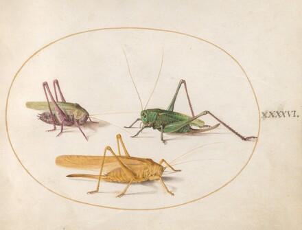 Animalia Rationalia et Insecta (Ignis):  Plate XLVI