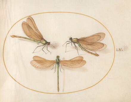 Animalia Rationalia et Insecta (Ignis):  Plate LV