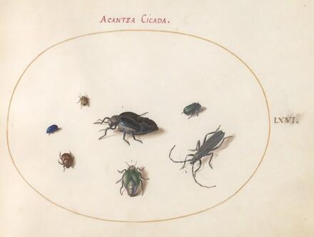 Animalia Rationalia et Insecta (Ignis):  Plate LXVI