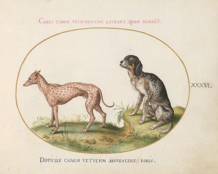 Animalia Qvadrvpedia et Reptilia (Terra): Plate XXXVI