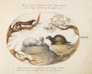 Animalia Qvadrvpedia et Reptilia (Terra): Plate XLIV