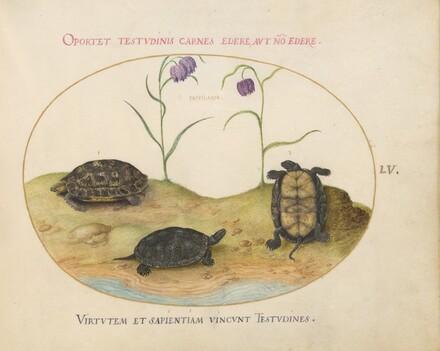 Animalia Qvadrvpedia et Reptilia (Terra): Plate LV