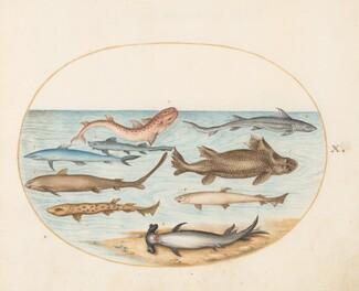 Animalia Aqvatilia et Cochiliata (Aqva): Plate X