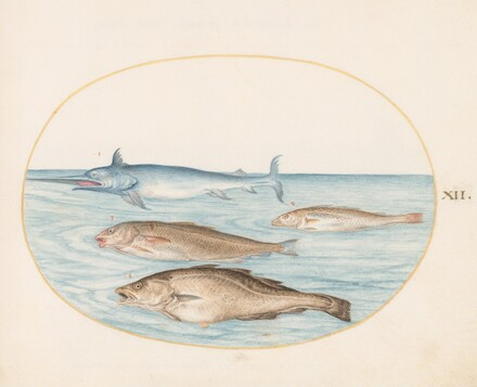 Animalia Aqvatilia et Cochiliata (Aqva): Plate XII