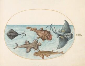 Animalia Aqvatilia et Cochiliata (Aqva): Plate XXIV