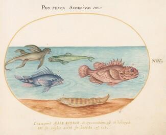 Animalia Aqvatilia et Cochiliata (Aqva): Plate XIV