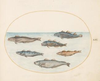 Animalia Aqvatilia et Cochiliata (Aqva): Plate XV