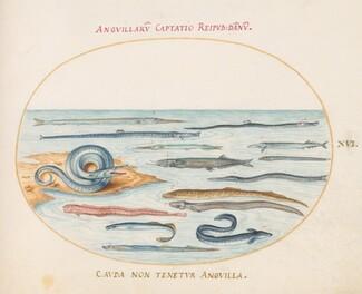 Animalia Aqvatilia et Cochiliata (Aqva): Plate XVI