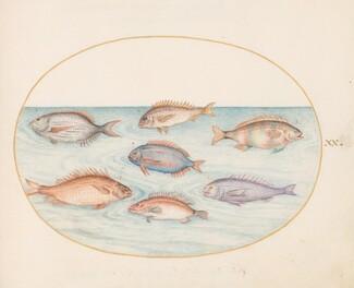 Animalia Aqvatilia et Cochiliata (Aqva): Plate XX