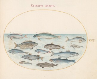 Animalia Aqvatilia et Cochiliata (Aqva): Plate XXI