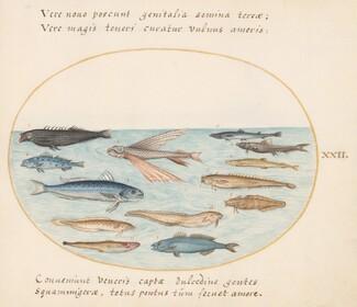 Animalia Aqvatilia et Cochiliata (Aqva): Plate XXII