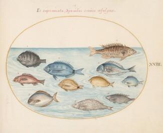 Animalia Aqvatilia et Cochiliata (Aqva): Plate XXIII