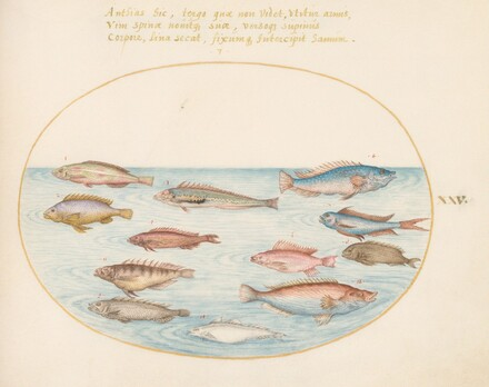 Animalia Aqvatilia et Cochiliata (Aqva): Plate XXV