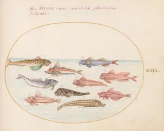 Animalia Aqvatilia et Cochiliata (Aqva): Plate XXVI