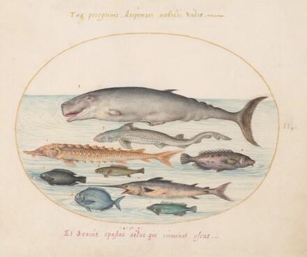 Animalia Aqvatilia et Cochiliata (Aqva): Plate II