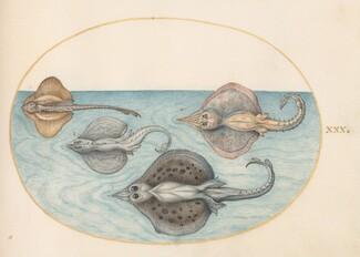 Animalia Aqvatilia et Cochiliata (Aqva): Plate XXX