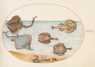 Animalia Aqvatilia et Cochiliata (Aqva): Plate XXXI