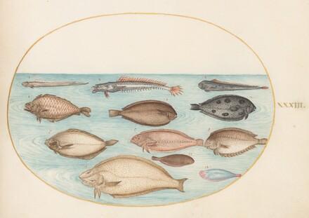 Animalia Aqvatilia et Cochiliata (Aqva): Plate XXXIII
