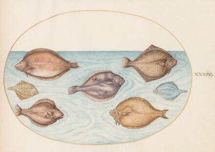 Animalia Aqvatilia et Cochiliata (Aqva): Plate XXXIV