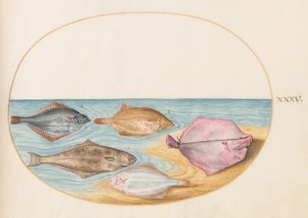Animalia Aqvatilia et Cochiliata (Aqva): Plate XXXV