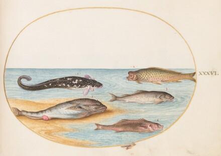 Animalia Aqvatilia et Cochiliata (Aqva): Plate XXXVI