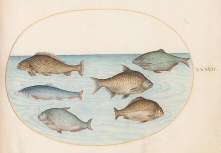 Animalia Aqvatilia et Cochiliata (Aqva): Plate XXXVII