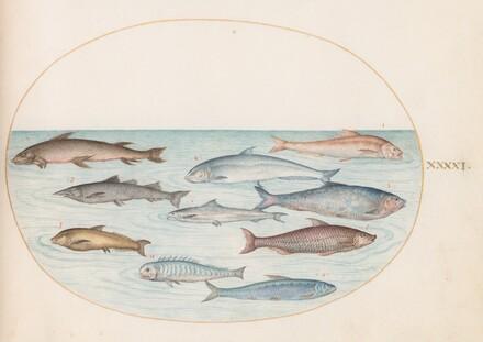 Animalia Aqvatilia et Cochiliata (Aqva): Plate XLI