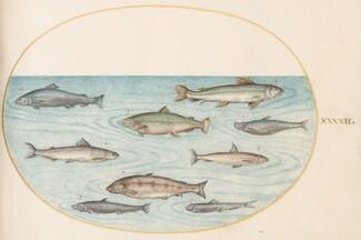 Animalia Aqvatilia et Cochiliata (Aqva): Plate XLII