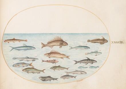 Animalia Aqvatilia et Cochiliata (Aqva): Plate XLIII