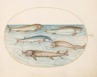 Animalia Aqvatilia et Cochiliata (Aqva): Plate VI