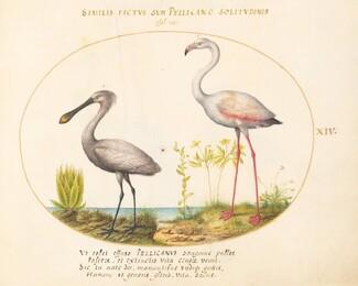 Animalia Volatilia et Amphibia (Aier): Plate XIV