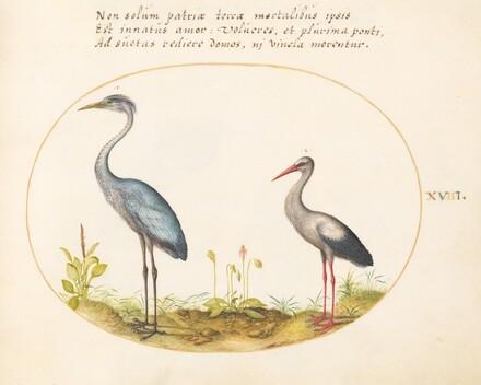 Animalia Volatilia et Amphibia (Aier): Plate XVIII