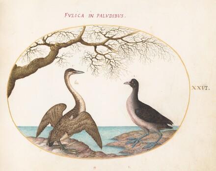Animalia Volatilia et Amphibia (Aier): Plate XXVI