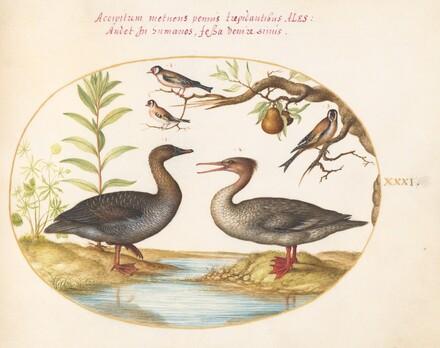 Animalia Volatilia et Amphibia (Aier): Plate XXXI