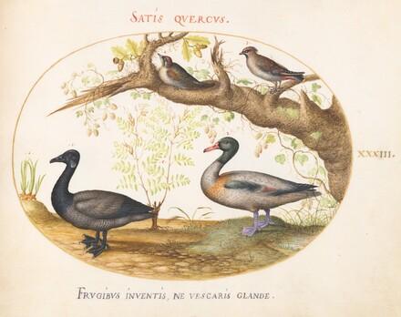 Animalia Volatilia et Amphibia (Aier): Plate XXXIII