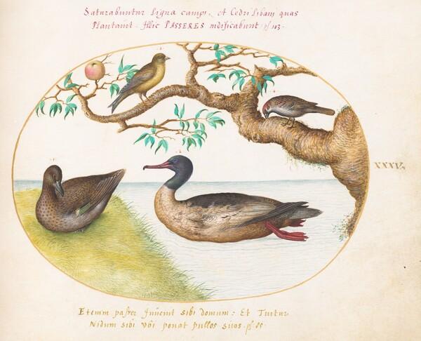 Animalia Volatilia et Amphibia (Aier): Plate XXXV