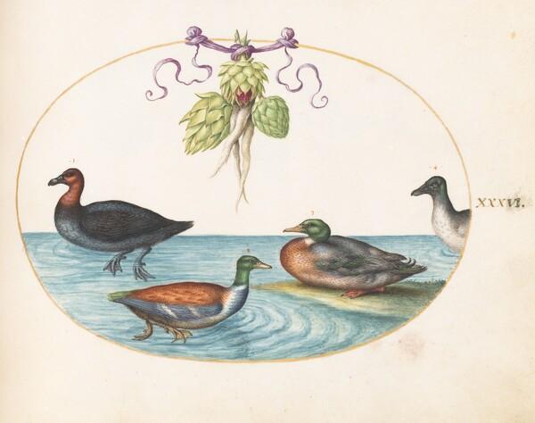 Animalia Volatilia et Amphibia (Aier): Plate XXXVI