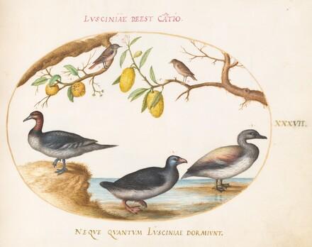 Animalia Volatilia et Amphibia (Aier): Plate XXXVII