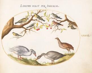 Animalia Volatilia et Amphibia (Aier): Plate XLI