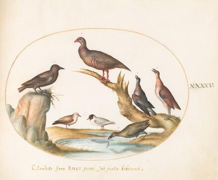Animalia Volatilia et Amphibia (Aier): Plate XLV