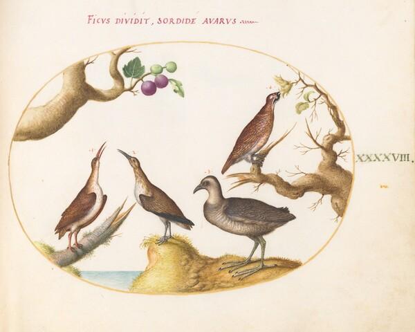 Animalia Volatilia et Amphibia (Aier): Plate XLVIII