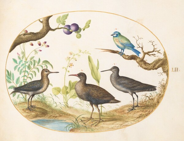 Animalia Volatilia et Amphibia (Aier): Plate LII