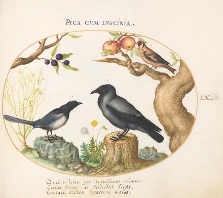 Animalia Volatilia et Amphibia (Aier): Plate LX