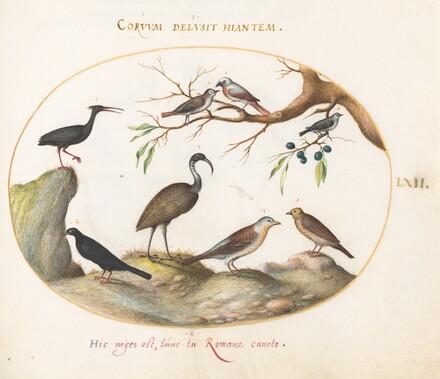 Animalia Volatilia et Amphibia (Aier): Plate LXII