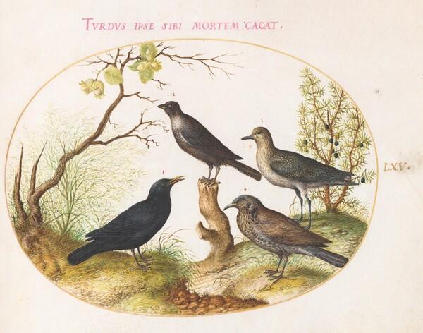 Animalia Volatilia et Amphibia (Aier): Plate LXV
