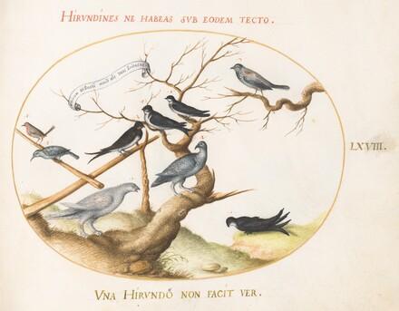 Animalia Volatilia et Amphibia (Aier): Plate LXVIII